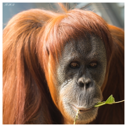 Orangutan at Melbourne Zoo