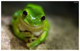 Green tree frog (iso 6400)