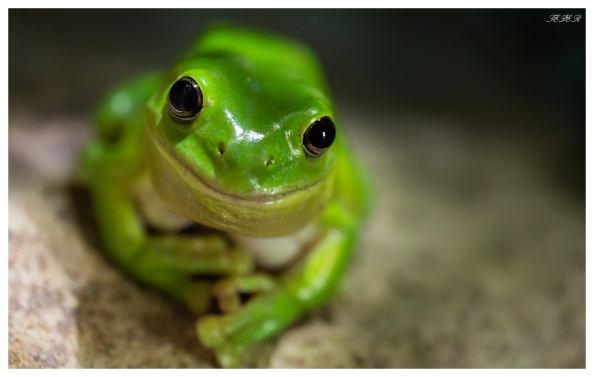 Green tree frog (iso 6400)
