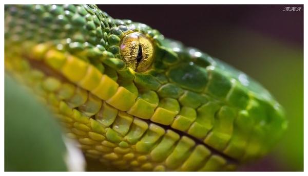 Tree snake eye