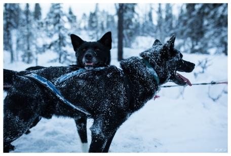 Husky dogs   5D Mark III   35mm 1.4