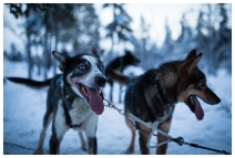 Husky dogs in Sweden
