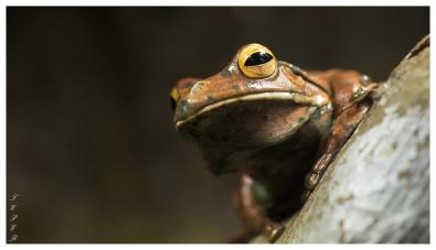 Frog | 5D Mark III | 70mm 2.8 Macro.