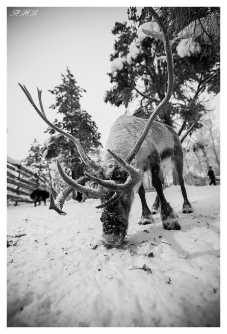Reindeer | 5D Mark III | 16-35mm 2.8L II