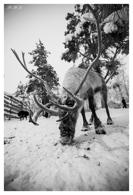 Reindeer | 5D Mark III | 16-35mm 2.8L II