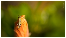 Baby grasshopper   7D   150mm 2.8