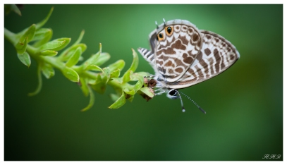 Butterfly | 40D | 150mm 2.8.
