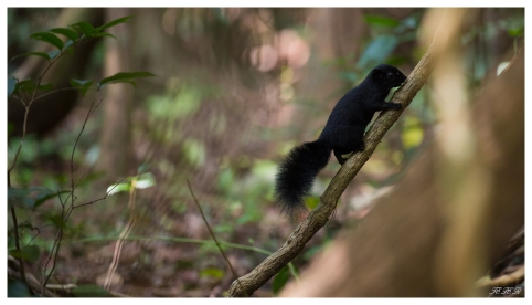 Another of the locals, some kind of massive squirrel. Con Dao National park. 5D Mark III | 100-400mm 4.5-5.6L IS II