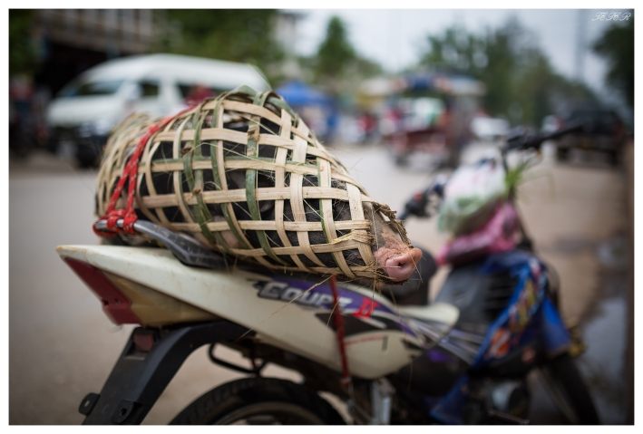 Interesting pig transportation system.. Luang Prabang, Laos. 5D Mark III | 35mm 1.4 Art