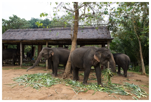 Asian elephants, Laos. 5D Mark III   24mm 1.4 Art
