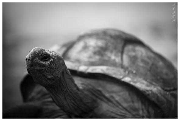 Giant Tortoise hanging out, Mahe, Seychelles. 5D Mark III | 135mm f2L