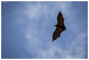 Flying dogs above the Botanical Gardens, Mahe, Seychelles. 5D Mark III | 100-400L IS II