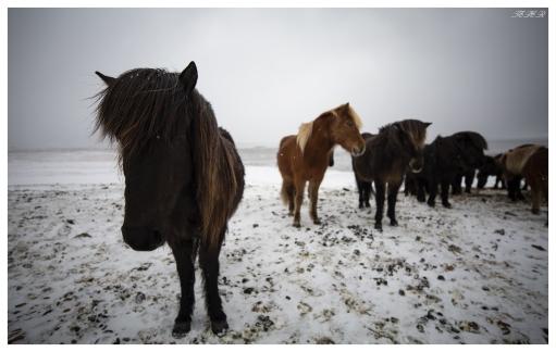 Locals near Stokksnes, Iceland. 5D Mark III | Zeiss 18mm 2.8 Milvus