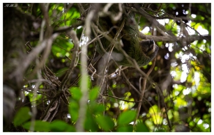 Sloth at Manuel Antonio National Park, Costa Rica. 5D Mark III | 100-400mm 4.5-5.6L IS II