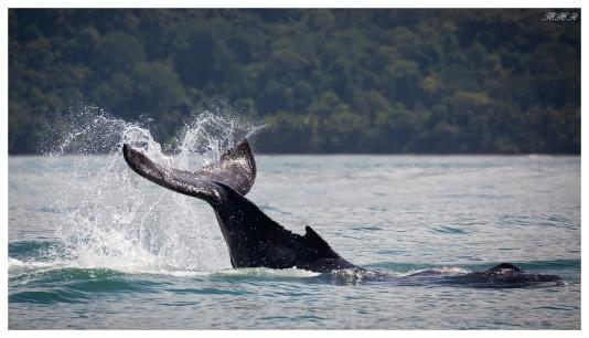 Whale watching, Uvita Costa Rica. 5D Mark III | 100-400mm 4.5-5.6L IS II