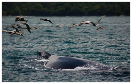 Whale watching, Uvita Costa Rica. 5D Mark III | 100-400mm 4.5-5.6L IS II