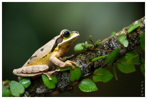 Frogs Heaven, Costa Rica. 5D Mark III | 180mm 2.8 Macro