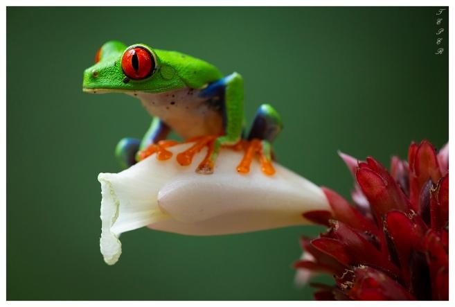 Frogs Heaven, Costa Rica. 5D Mark III   180mm 2.8 Macro