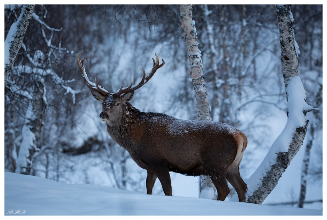 The majestic deer at Polar Park, Norway. Canon 5D Mark III | 180mm 2.8 OS Macro