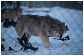 Wolves at a treat at Polar Park, Norway. Canon 5D Mark III | 180mm 2.8 OS Macro