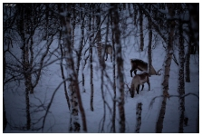 Raindeer at Polar Park, Norway. Canon 5D Mark III | 180mm 2.8 OS Macro